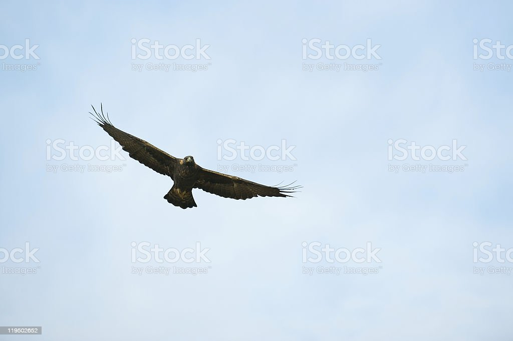 Golden eagle with wings spread in the middle of a flight royalty-free stock photo