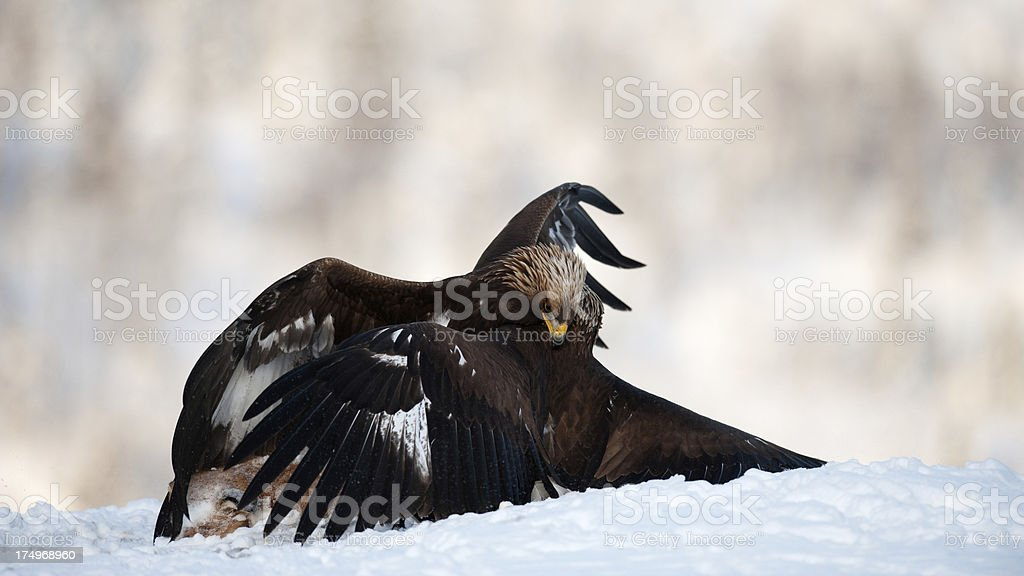 Golden Eagles on the snow royalty-free stock photo