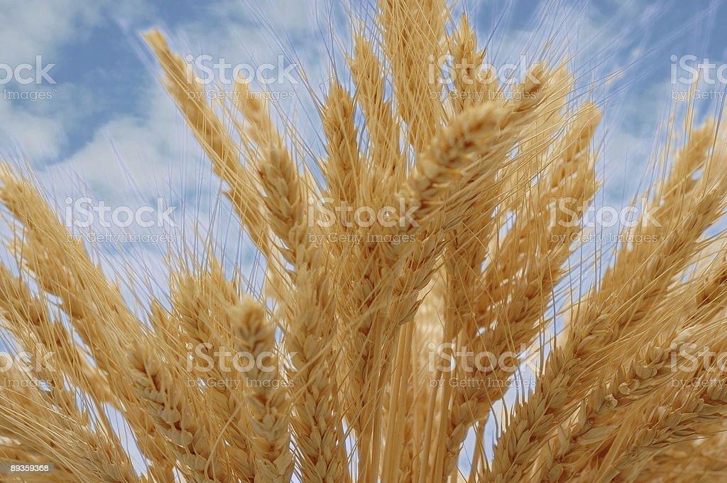 Golden orecchie contro il cielo blu foto stock royalty-free