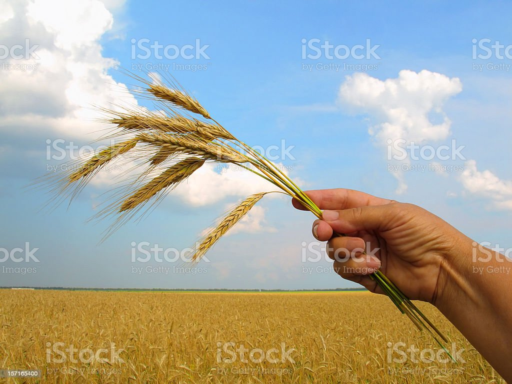 Golden Ears of Rye in Hand IV royalty-free stock photo
