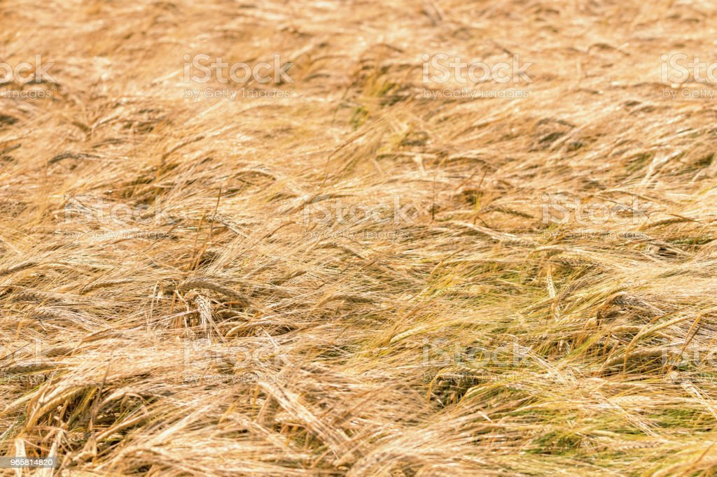 Golden ears of wheat in summer on the field. Wheat Background. - Royalty-free Agricultural Field Stock Photo