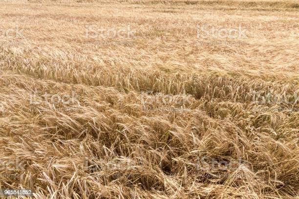 Golden Ears Of Wheat In Summer On The Field Wheat Background - Fotografias de stock e mais imagens de Agricultura