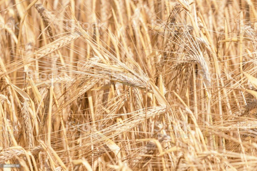 Gouden oren van tarwe in de zomer op het veld. Tarwe achtergrond. - Royalty-free Biologisch Stockfoto