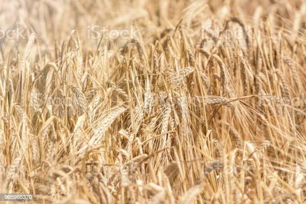 Goldene Ähren Im Sommer Auf Dem Feld Weizenhintergrund Stockfoto und mehr Bilder von Agrarbetrieb