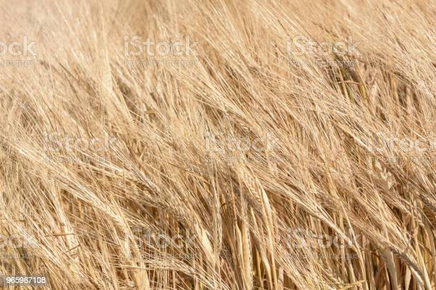 Golden Ears Of Wheat In Summer On The Field Wheat Background Stock Photo - Download Image Now