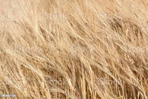 Gouden Oren Van Tarwe In De Zomer Op Het Veld Tarwe Achtergrond Stockfoto en meer beelden van Biologisch