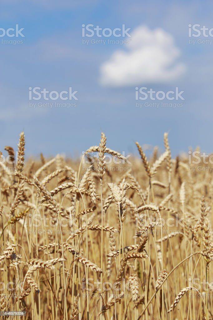 golden ears of wheat stock photo