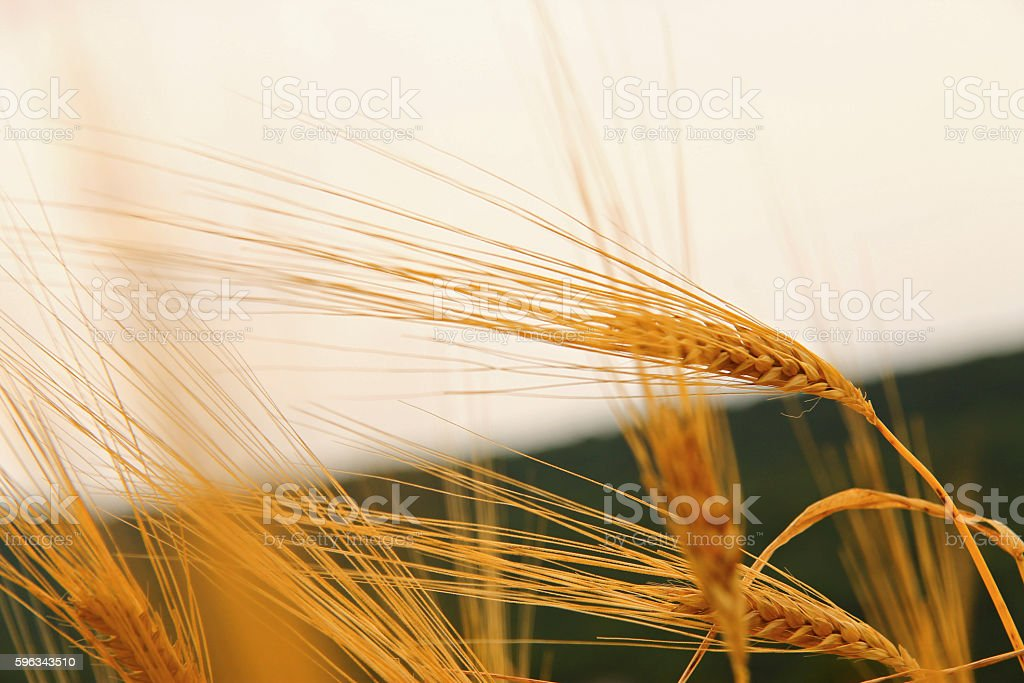Golden Ears On The Summer Field Before Harvest royalty-free stock photo