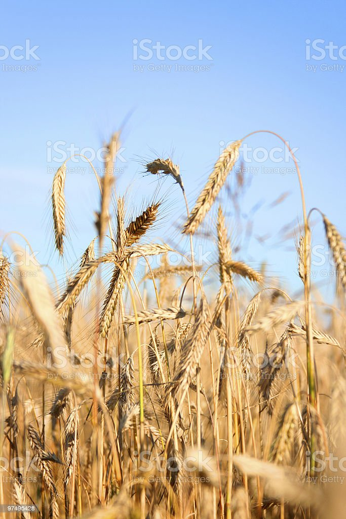 golden ears royalty-free stock photo