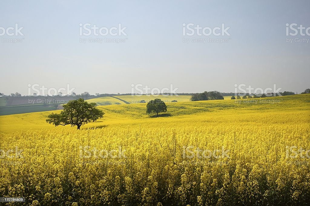 Golden english fields stock photo