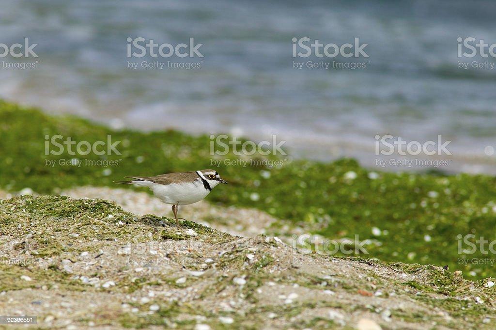 Golden Eye aquatic bird royalty-free stock photo