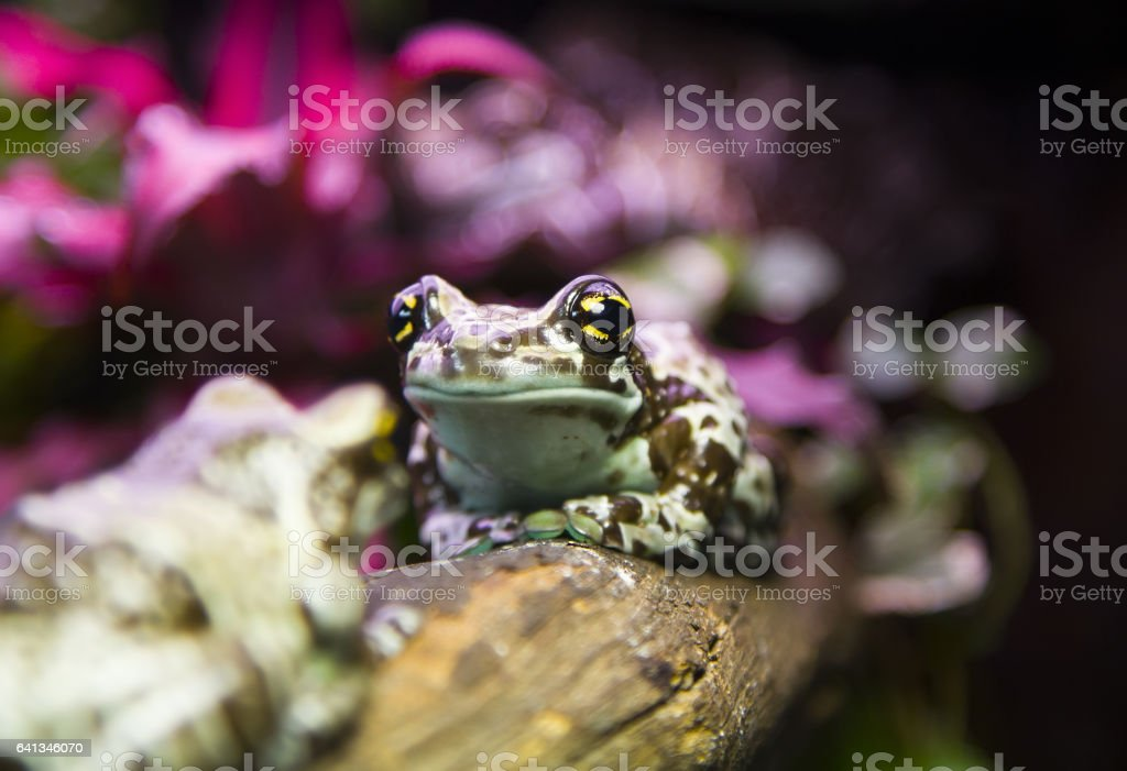 golden eyed tree frog siting on the branch stock photo