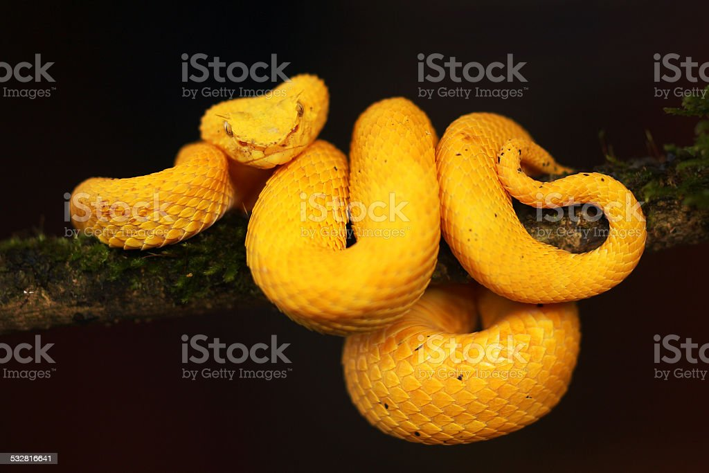 Golden eyelash viper  from Costa Rica stock photo