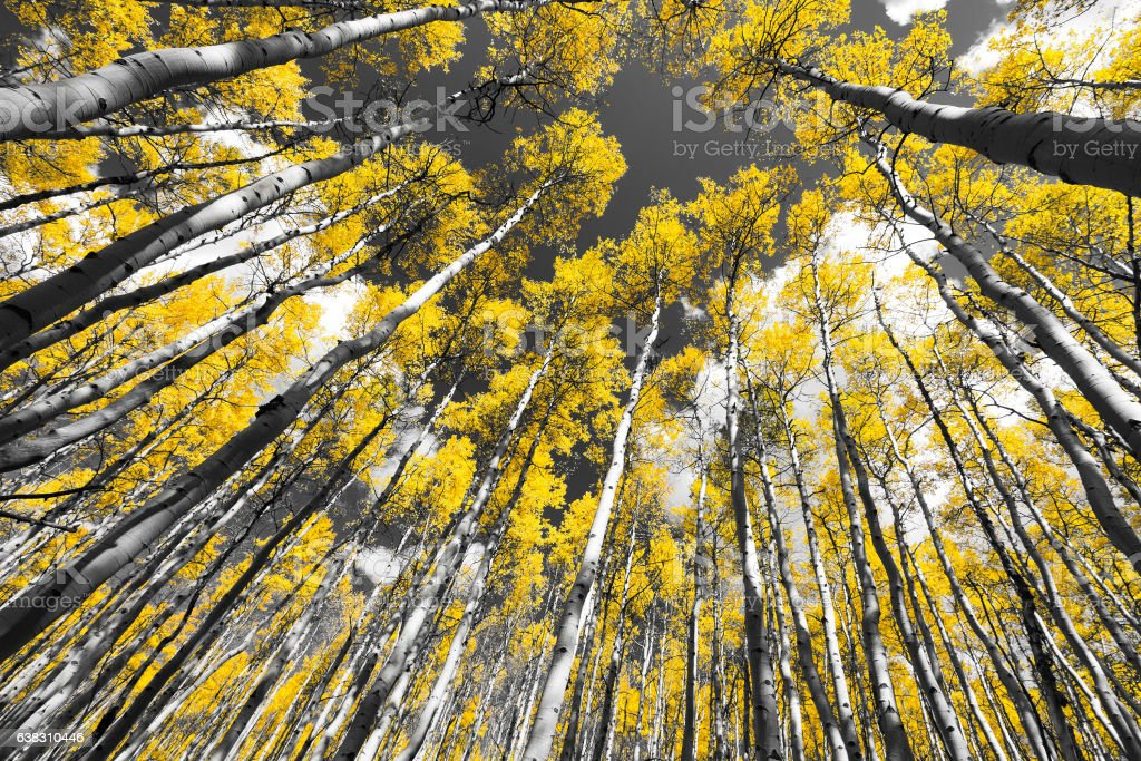 Golden Fall Aspen Tree Forest in Colorado Mountains stock photo
