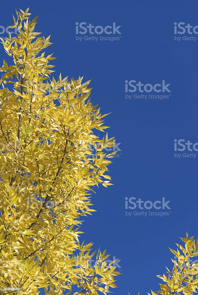 Golden fall foliage aganst blue sky royalty-free stock photo