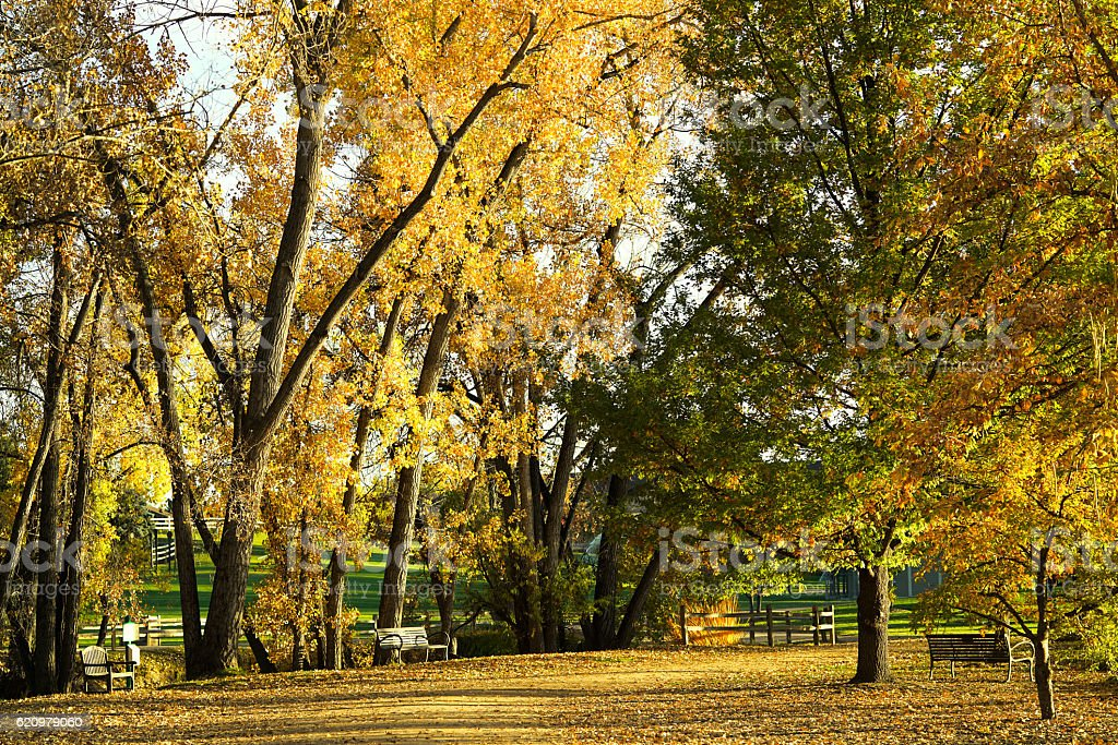 Golden fall mature trees surrounded by the benches. foto royalty-free