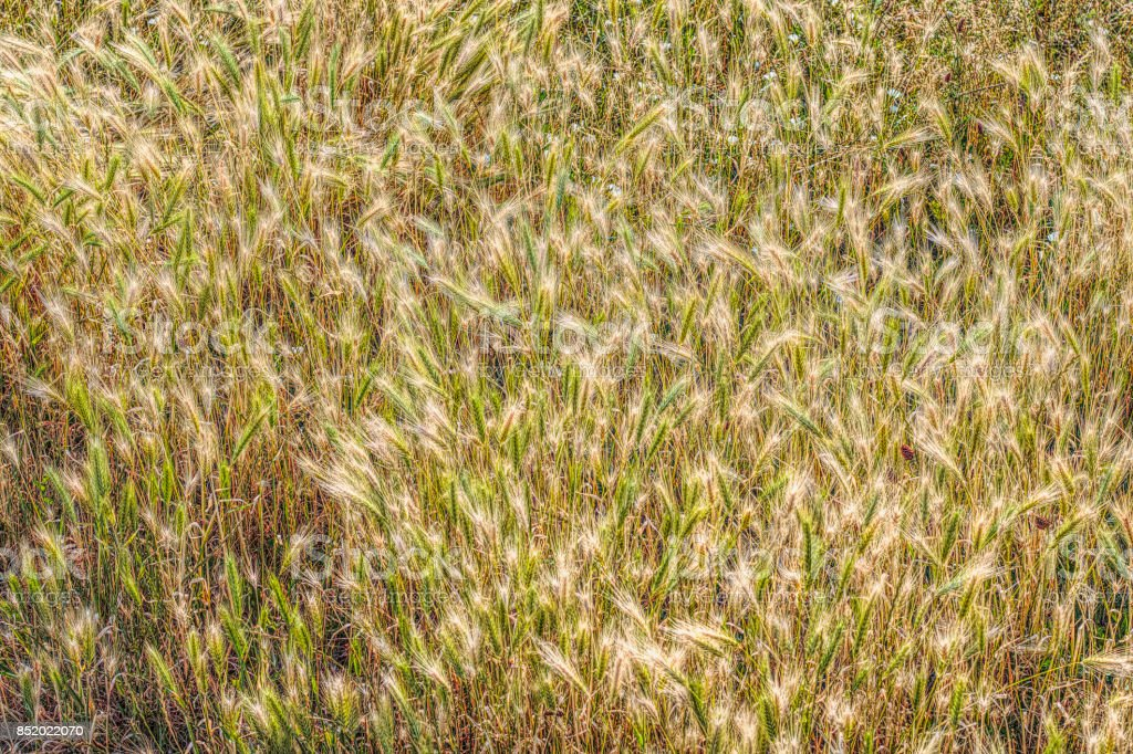 Golden field of barley background photo stock photo
