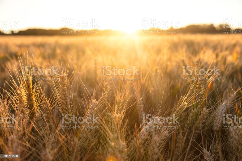 Golden field of barley crops growing on farm at sunset or sunrise stock photo
