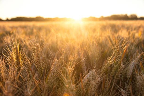 golden field of barley crops growing on farm at sunset or sunrise - barley stock pictures, royalty-free photos & images