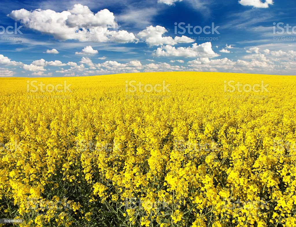 golden field of flowering rapeseed with beautiful clouds stock photo