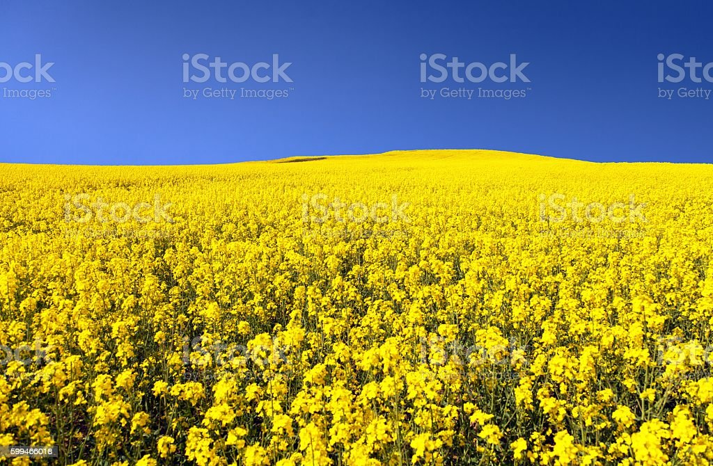 golden field of flowering rapeseed with blue sky stock photo