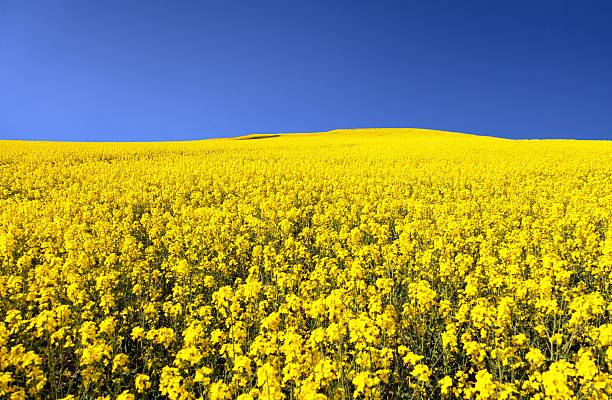 golden field of flowering rapeseed with blue sky golden field of flowering rapeseed with blue sky - brassica napus - plant for green energy and oil industry brassica rapa stock pictures, royalty-free photos & images
