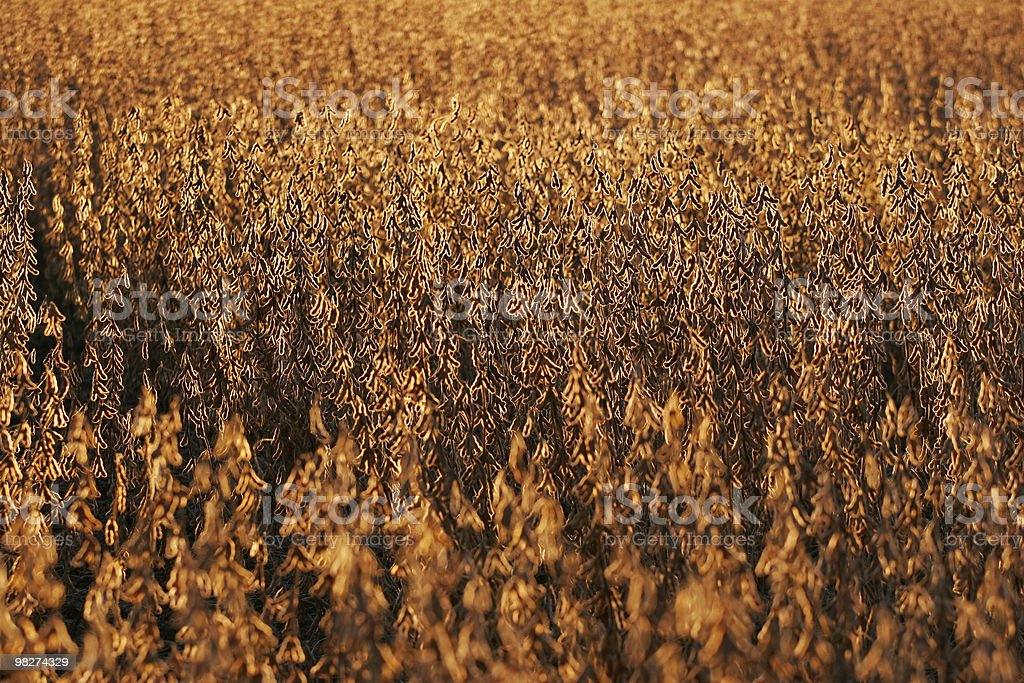 Golden Field of Soybeans royalty-free stock photo