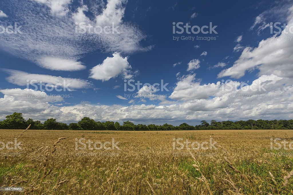 golden field of wheat before a storm royalty-free stock photo