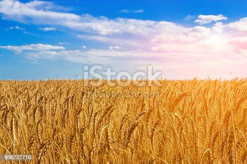 istock Golden field of wheat. 936222716
