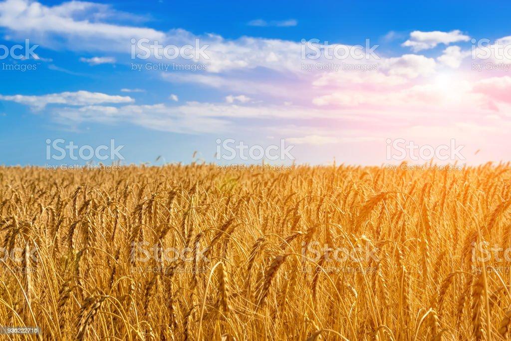 Golden field of wheat. stock photo
