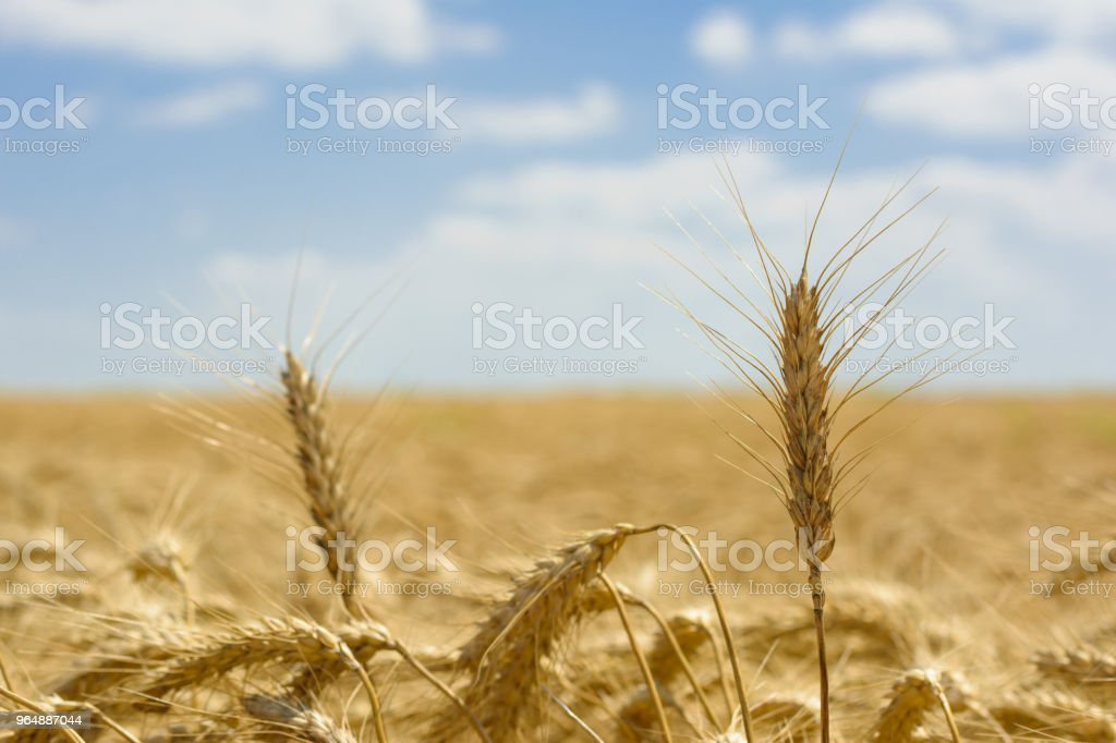 Golden field royalty-free stock photo