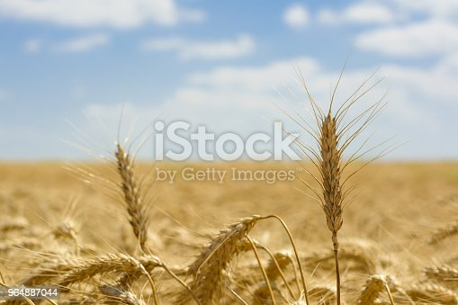 Golden Field Stock Photo & More Pictures of Agriculture