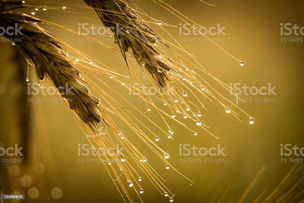 Golden field with dewdrop at sunrise royalty-free stock photo