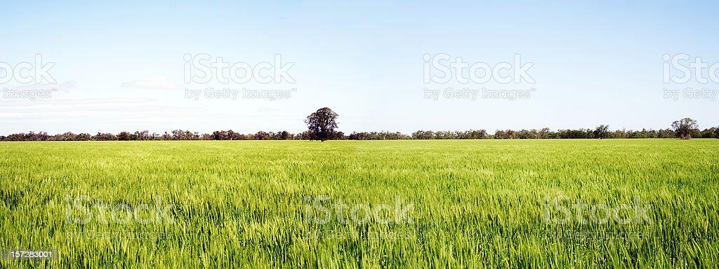 golden fields of wheat panorama stock photo