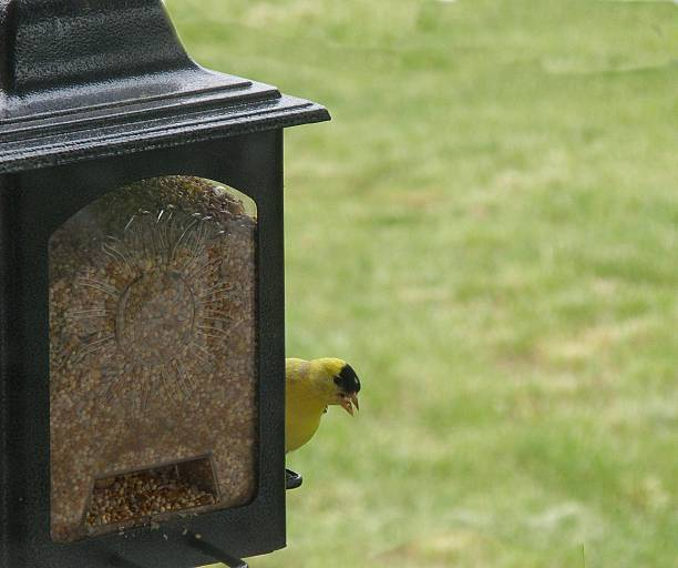 Golden Finch Feeder stock photo