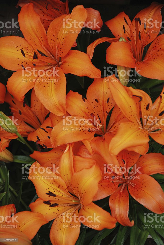 Golden fire lilies royalty-free stock photo
