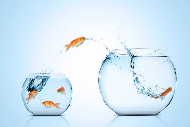 poisson d'or vers le meilleur endroit - poisson rouge photos et images de collection