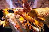 golden fishes inside aquarium