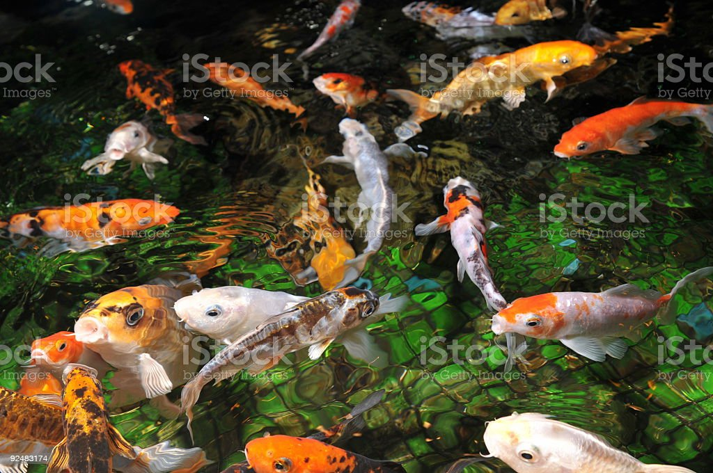 golden fishes royalty-free stock photo