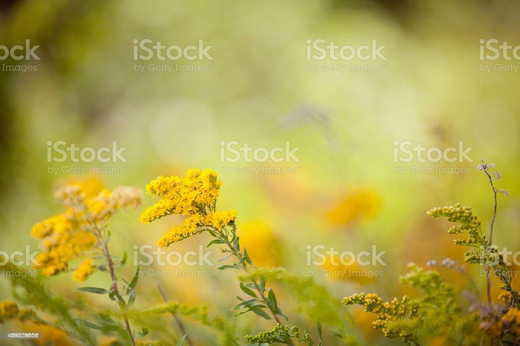 Golden kwiatów i innych roślin – zdjęcie