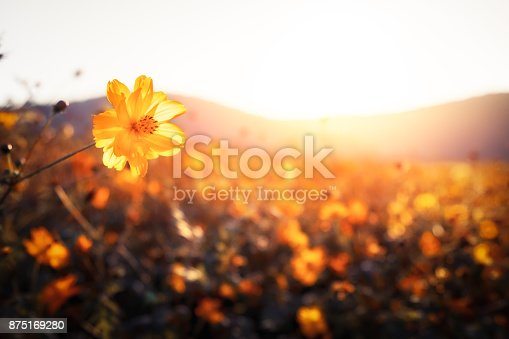 istock Golden flowers on a field next to hills 875169280