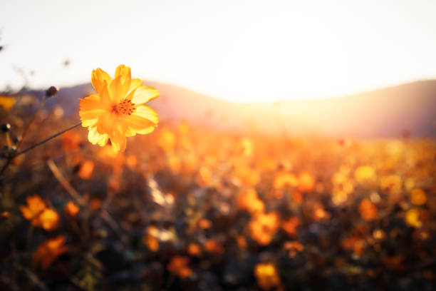 Golden flowers on a field next to hills Sunset,Sunrise - Dawn,Flowers,Fog,Autumn wildflower stock pictures, royalty-free photos & images