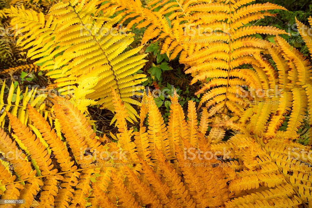 Golden foliage of cinnamon ferns in Bigelow Hollow, Connecticut. stock photo