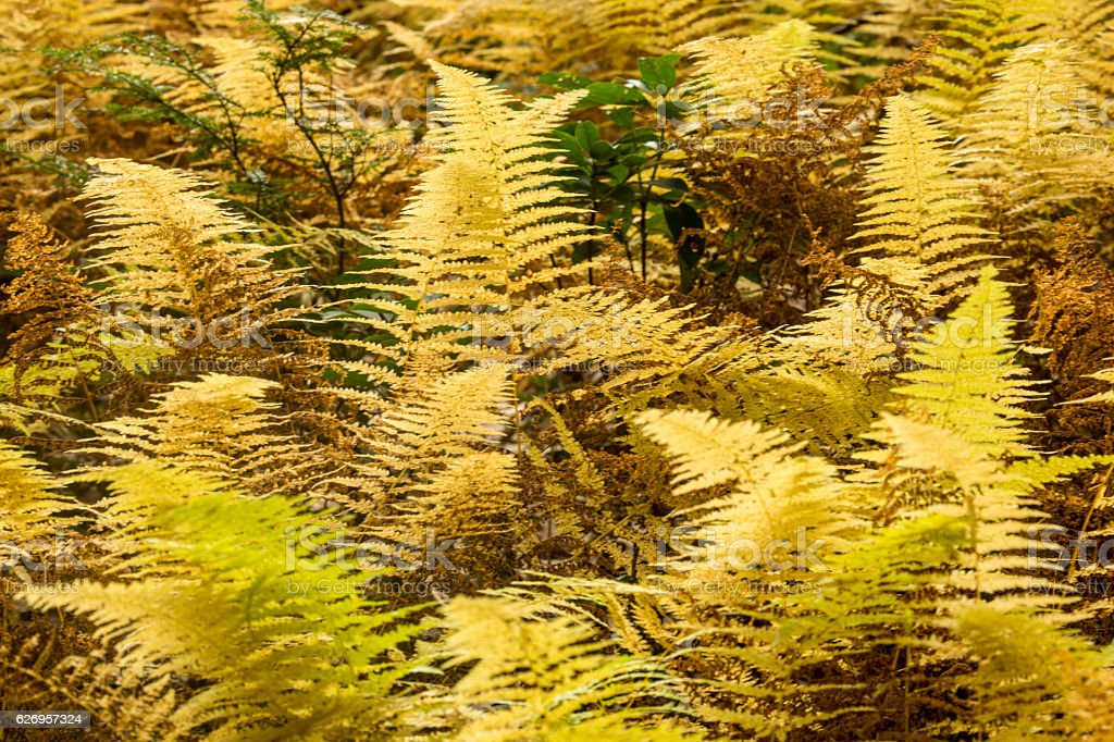 Golden foliage of hayscented ferns in Bigelow Hollow, Connecticu stock photo