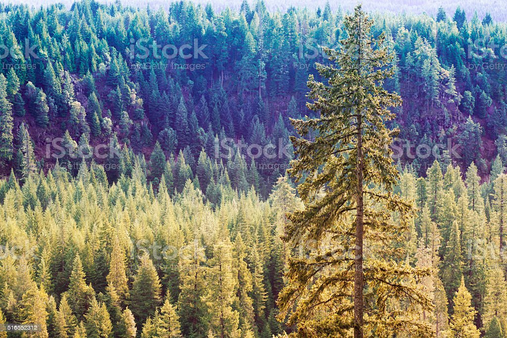 Golden Forest of Ponderosa Pine Trees stock photo
