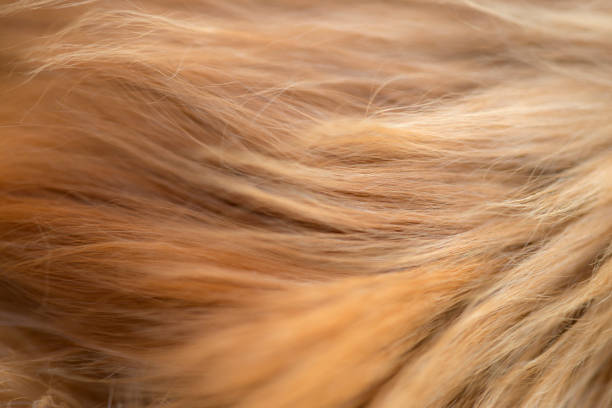 Golden Fur Extreme close up of Golden Retriever fur. animal hair stock pictures, royalty-free photos & images