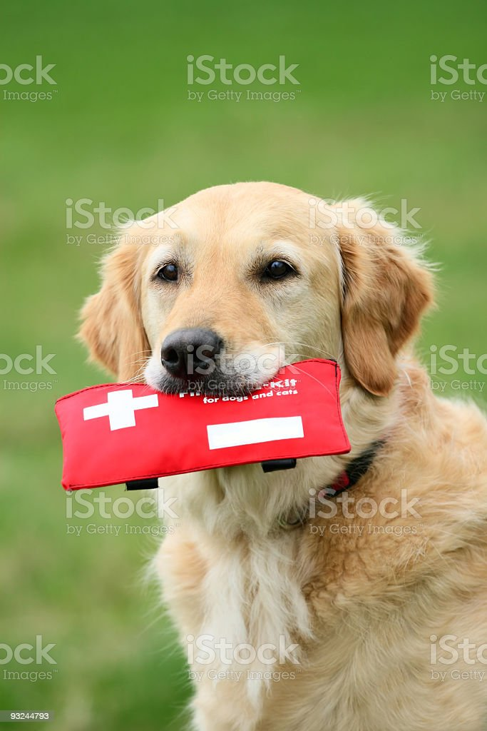 Golden furred dog with a red first aid kit in its mouth royalty-free stock photo