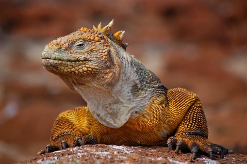 A fierce looking golden colored Galapagos Land Iguana certainly looks like an alpha predator, but it is a vegetarian