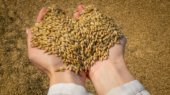 Golden grains in a woman's hands