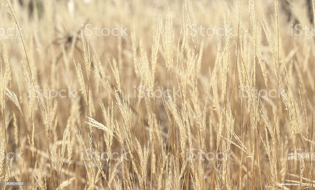 Golden grass background stock photo